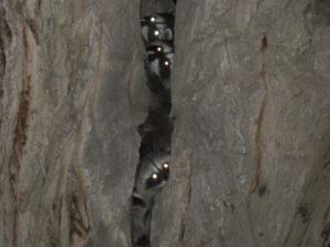 Raccoons in Chamna den