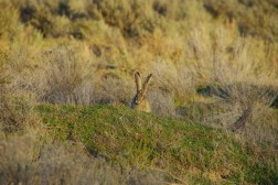 Amon Black-tailed jackrabbit